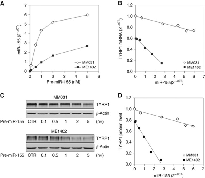 Evaluation of TYRP1 regulation by miR-155 according to SNPs in melanoma cell lines. Measurement of TYRP1 mRNA and protein in ME1402 (CC/AA, 'match' genotype) and MM031 (AA/CC, 'mismatch' genotype) melanoma cell lines transfected with increasing concentrations of either pre-miR scramble (negative control) or pre-miR-155. ( A ) The miR-155 levels normalised to RNU44 (2 −ΔCT ) as function of pre-miR-155 used for transfection (basal level of miR-155 is 0.01 in MM031 and 0.03 in ME1402 line). ( B ) The TYRP1 mRNA expression normalised to RPS18 (2 −ΔCT ) as function of miR-155 measured in cells after transfection. ( C ) Representative western blots (WB) of TYRP1 protein ( <t>β</t> -actin as loading control) as function of the amount of pre-miR-155 used for transfection. ( D ) The TYRP1 protein WB bands normalised to β -actin as function of the amount of miR-155 measured in cells after transfection. All values are the mean of seven independent transfection experiments. No significant difference was found between data from pre-miR scramble transfected cells and nontransfected (control) cells. The TYRP1 mRNA and protein levels are normalized to values from control MM031 cells. Linear regression is used to assess the relationship between mRNA or protein and miR-155 levels.