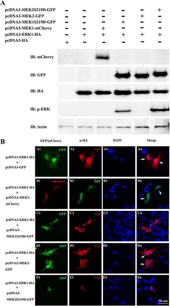 Constitutively activated MEK1 (MEK1 S219D ) and MEK2 (MEK2 S219D ) both phosphorylated ERK1. a . COS-1 cells were transiently transfected with pcDNA3-HA, pcDNA3-ERK1-HA, pcDNA3-MEK1-mCherry, pcDNA3-MEK1S219D-GFP, pcDNA3-MEK2-GFP, or pcDNA3-MEK2S219D-GFP. Total lysates were analyzed by Western blotting using anti-HA, anti-GFP, anti-pERK monoclonal antibodies; anti-mCherry and anti-Actin polyclonal antibodies. b . Intracellular localization of ERK1, MEK1, and MEK2 in COS-1 cells by fluorescent microscopy. The pcDNA3-ERK1-HA was co-transfected with pcDNA3-GFP (A1-A4), pcDNA3-MEK1-mCherry (B1-B4), pcDNA3-MEK1S219D-GFP (C1-C4), pcDNA3-MEK2-GFP (D1-D4), or pcDNA3-MEK2S219D-GFP (E1-E4). Cy2 or Cy3 dye used an anti-HA monoclonal antibody to detect localization of ERK1 as visualized. DAPI was used to stain nuclear DNA. White arrows indicate the ERK1 protein localized in nuclei and the cytoplasm. IB, immunoblot