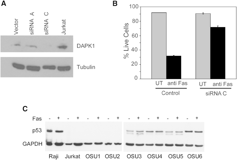 DAPK1 Regulates Apoptosis in Lymphoid Cells (A) DAPK1 expression in Jurkat cells stably transfected with either vector alone, DAPK1 siRNA-A, or DAPK1 siRNA-C as measured by western blot. Tubulin expression served as a control. (B) Percent live cells were measured in Jurkat cells stably transfected with vector alone or DAPK1 siRNA-C, treated with activating-Fas antibody (100 ng/ml). After 16 hr, cells were harvested and suspended in binding buffer with annexin V-FITC and <t>propidium</t> iodide, followed by flow cytometry to assess cell death. Error bars indicate SD. (C) p53 expression in cells treated with either no, 50 ng/ml, or 100 ng/ml Fas-activating antibody.