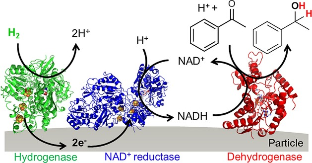 Schematic representation of the H 2 -driven particle system for NADH-dependent biocatalysis. Oxidation of H 2 by a hydrogenase (green) transfers electrons (e − ) into an electronically conducting particle and these are then used by an NAD + reductase (blue) for selective NAD + reduction. A co-immobilised NADH-dependent AHD (red) is supplied with NADH that is used for catalytic reduction of a ketone (here, acetophenone). Both hydrogen atoms of H 2 are incorporated into the product (here phenylethanol) to allow a 100 % atom-efficient chemical synthesis.
