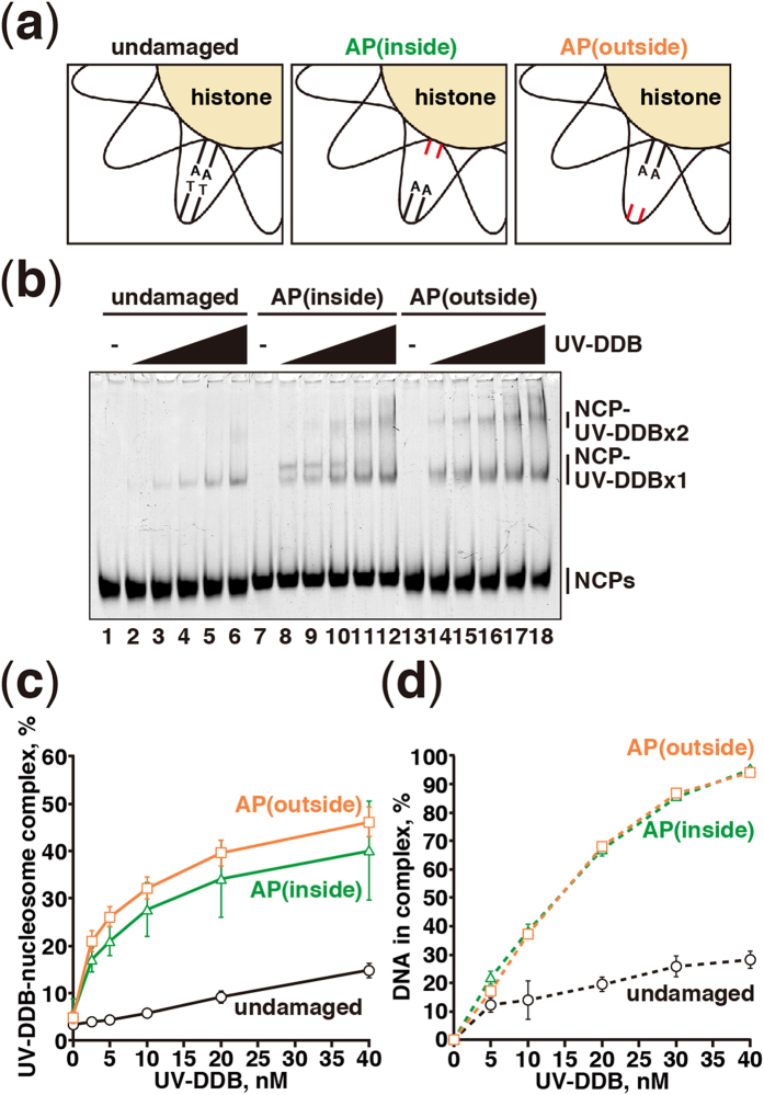 Nucleosomal apyrimidinic DNA binding of UV-DDB. ( a ) Schematic representations of reconstituted nucleosomes containing undamaged DNA, AP(inside), and AP(outside). ( b ) Gel electrophoretic mobility shift assay for nucleosome binding of UV-DDB. Nucleosome core particles (NCP; 5 nM) containing undamaged DNA (lanes 1–6), AP(inside) (lanes 7–12), or AP(outside) (lanes 13–18) were incubated with UV-DDB. The UV-DDB concentrations are 0 nM (lanes 1, 7, and 13), 2.5 nM (lanes 2, 8, and 14), 5 nM (lanes 3, 9, and 15), 10 nM (lanes 4, 10, and 16), 20 nM (lanes 5, 11, and 17), and 40 nM (lanes 6, 12, and 18). ( c ) Graphic representation of the experiments shown in panel ( b ). Standard deviation values are shown (n = 3). ( d ) Graphic representation of naked DNA binding of UV-DDB. Standard deviation values are shown (n = 3).