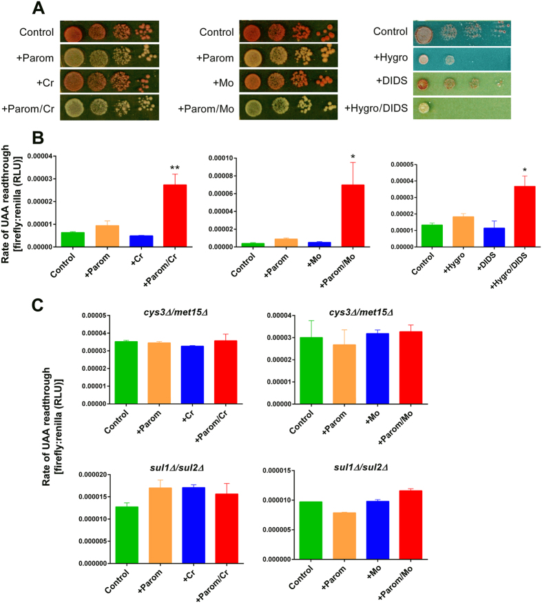 The translation error-rate is synergistically increased by combining paromomycin with sulphate mimetics. ( A ) S. cerevisiae L1494 ( ade1-14 ) cells in 10-fold serial dilutions were spotted and incubated on YEPD agar supplemented with 25 μg ml −1 paromomycin, 50 μM chromate and/or 250 μM molybdate, or to YNB agar with 100 μg ml −1 hygromycin B and/or 1 mM DIDS. ( B ) Wild type yeast transformed with the dual-luciferase plasmid 36 were exposed to 50 μg ml −1 aminoglycoside and/or 100 μM chromate, 500 μM molybdate, or 1 mM DIDS in YNB broth before determination of firefly and Renilla luciferase activities in protein extracts. The ratio of these activities indicates the level of translation read-through of the UAA stop codon separating the two ORFs. All values are means ±SEM from at least three independent determinations. RLU, relative light units. ( C ) The isogenic cys3Δ/met15Δ and sul1Δ/sul2Δ yeast double-deletants were treated as in ( B ). *p