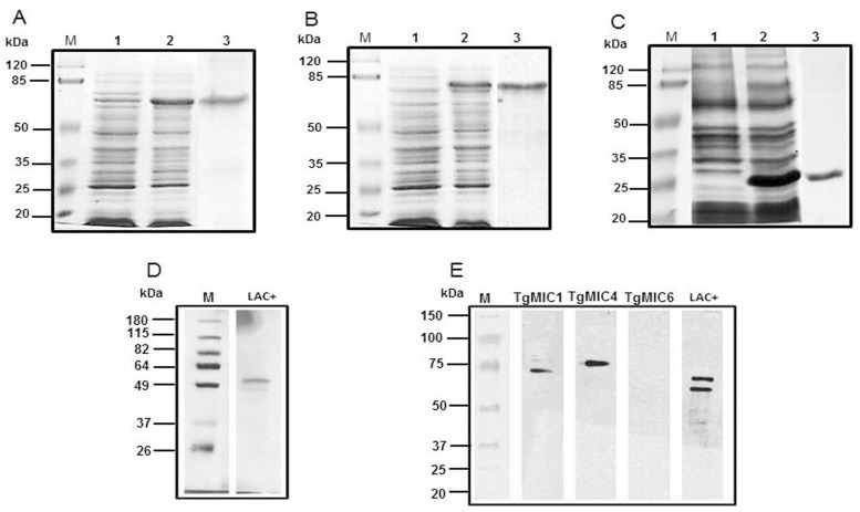 SDS-PAGE and western blot analysis of native and recombinant microneme proteins. SDS-PAGE of recombinant proteins (panels A, B, and C, Coomassie Blue stained) or native (panel D, silver-stained) proteins. Heterologous expression was noted in E . coli (DE3) and recombinant proteins were detected in inclusion bodies. Lane 1: protein expression before induction. Lane 2: protein expression after induction. Lane 3: purified and refolded histidine-tagged recombinant proteins, displayed apparent molecular masses of 70-kDa (TgMIC1, panel A), 80-kDa (TgMIC4, panel B), and 30-kDa (TgMIC6, panel C). Panel E shows the electrophoretical profile of the Lac+ fraction, composed of the native proteins TgMIC1 (53-kDa) and TgMIC4 (68-kDa). Lane M: Molecular mass markers. Reactivity of recombinant and native microneme proteins with anti-Lac+ mouse serum was examined by western blot (Panel E), developed with peroxidase-conjugated goat anti-mouse IgG.