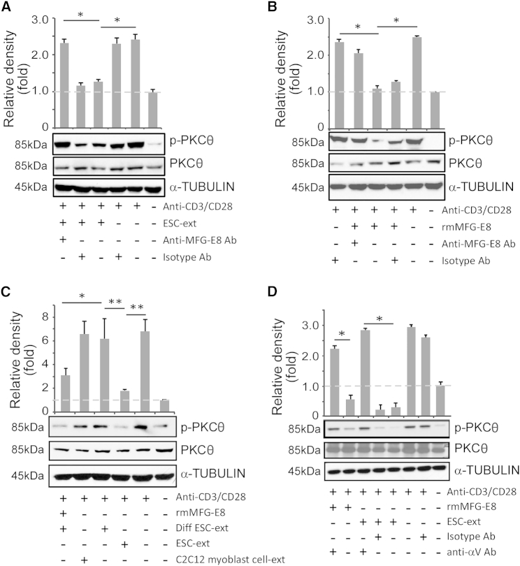 MFG-E8 in ESCs Inhibits PKCθ Activation (A) Negatively selected C57BL/6 CD3 + T cells were treated with undifferentiated ESC-derived soluble factors (ESC-ext, prepared from D3 ESCs derived from 129S2/SvPas mouse blastocysts) alone or in combination with either control isotype antibody or anti-MFG-E8 antibody, and stimulated with anti-CD3/CD28 antibodies. For western blot analysis, cell lysates were probed with antibodies to phosphorylated-PKCθ (Ther538), total PKCθ, and α-tubulin (as a loading control). (B) Cells were treated with recombinant mouse MFG-E8 (rmMFG-E8) in the absence or presence of control isotype antibody or anti-MFG-E8 antibody and analyzed by western blot. (C) Cells were treated with soluble factors derived from undifferentiated D3 ESCs (ESC-ext), differentiated D3 ESCs (Diff ESC-ext), or C2C12 myoblast cell line (C2C12 myoblast cell-ext) alone or in combination with rmMFG-E8 and then analyzed by western blot. (D) The αV integrin-blocking antibody (anti-αV Ab) was introduced to restrain the binding of MFG-E8 to its receptor. Cell lysates were then analyzed for levels of PKCθ phosphorylation by densitometry with α-tubulin as a loading control. Bar graphs represent mean ± SD from at least three independent experiments. See also Figure S4 .