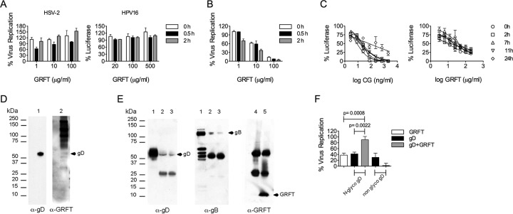 GRFT prevents HSV-2 and HPV postadsorption events. (A) HSV-2 G or HPV16 PsV and different concentrations of GRFT or medium (virus control) were preincubated for 0 h, 0.5 h, and 2 h at 37°C before being added to prechilled Vero cells (for HSV-2) or HeLa cells (for HPV16 PsV) and kept at 4°C for 2 h. The cells were washed 3 times before addition of the overlay and incubation at 48 h and 37°C in a 5% CO 2 atmosphere with 98% humidity. Finally, the cells were fixed and stained prior to counting the numbers of PFU. (B) The same as in panel A for HSV-2, but after 2 h of incubation at 4°C, the cells were switched to 37°C for an additional 2 h, followed by a 2-min treatment with citric acid buffer (pH 3.0). (C) Different concentrations of CG or GRFT were added at the indicated time points, with time zero representing the time of initial HPV16 PsV inoculation. The graph shows the percent reporter gene expression (mean ± SD) relative to that for the virus control (triplicate assays were performed per condition). (D) Western blot of purified HSV-2 lysate. Membranes were incubated overnight at 4°C with mouse anti-gD MAb DL11 (lane 1) or 1 μg/ml GRFT (lane 2). The membranes were washed and incubated for 1 h at room temperature with HRP-conjugated anti-mouse Ig (lane 1) or were incubated overnight at 4°C with rabbit anti-GRFT antibody (lane 2), before being washed and incubated with HRP-conjugated anti-rabbit immunoglobulin antibody (1 h at room temperature). (E) HSV-2-infected Vero cells were lysed, preincubated with GRFT, and immunoprecipitated with anti-GRFT antibody. Lanes 1, cell lysate without immunoprecipitation; lanes 2, HeLa cell lysate 24 h after HSV-2 infection with immunoprecipitation in the presence of GRFT and anti-GRFT antibody; lanes 3, same as lanes 2 but 48 h after HSV-2 infection; lanes 4 and 5, immunoprecipitation controls without and with GRFT, respectively. In the experiments described in the legends to panels D and E, the membranes were processed using an E