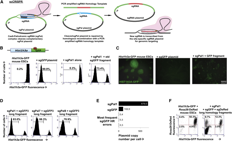 Simplified, Efficient Genome Editing Using scCRISPR (A) Schematic shows the scCRISPR/Cas9 process that occurs inside target cells. (B) Histograms show flow cytometric GFP fluorescence (x axis) in Hist1h3a mouse ESCs (left) after <t>electroporation</t> with Cas9 and plasmid sgRNA (second from left), sgPal1 plasmid alone (third from left), and sgPal1 plasmid and sgGFP homology fragment with standard-length arms (fourth from left). (C) Fluorescence microscopy shows GFP fluorescence in Hist1h3a -GFP mouse ESCs (left) after targeting with Cas9 and plasmid sgRNA (second from left) and sgPal1 plasmid and sgGFP homology fragment (third from left). (D) Histograms show flow cytometric GFP fluorescence (x axis) in Hist1h3a -GFP knockin mouse ESCs after electroporation with Cas9 and (from left to right) sgPal1, sgPal7, and sgPal8 plasmids together with a long sgGFP homology fragment. (E) MiSeq plasmid copy numbers per cell of sgPal1, sgGFP, and the three most frequently mismatched sgGFP species 96 hr after co-electroporation of mouse ESCs are shown. (F) Multiplexed mutation of GFP (x axis) and dsRed (y axis) in Hist1h3a -GFP Rosa26 -dsRed mouse ESCs (left) after co-introduction of Cas9, sgPal1 plasmid, and sgGFP and sgDsRed long-armed homology fragments (right) is shown. See also Figure S1 .