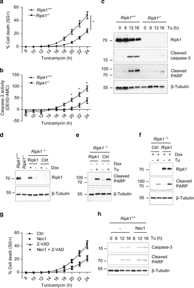 RIPK1 mediates ER stress-triggered apoptosis independently of its kinase activity. ( a and b ) Ripk1 +/+ and Ripk1 −/− MEFs were stimulated with 1 μ g/ml tunicamycin (Tu), and the percentage of cell death ( a ) or caspase-3 like activity ( b ) was measured in function of time using the Fluostar Omega fluorescence plate reader.* P