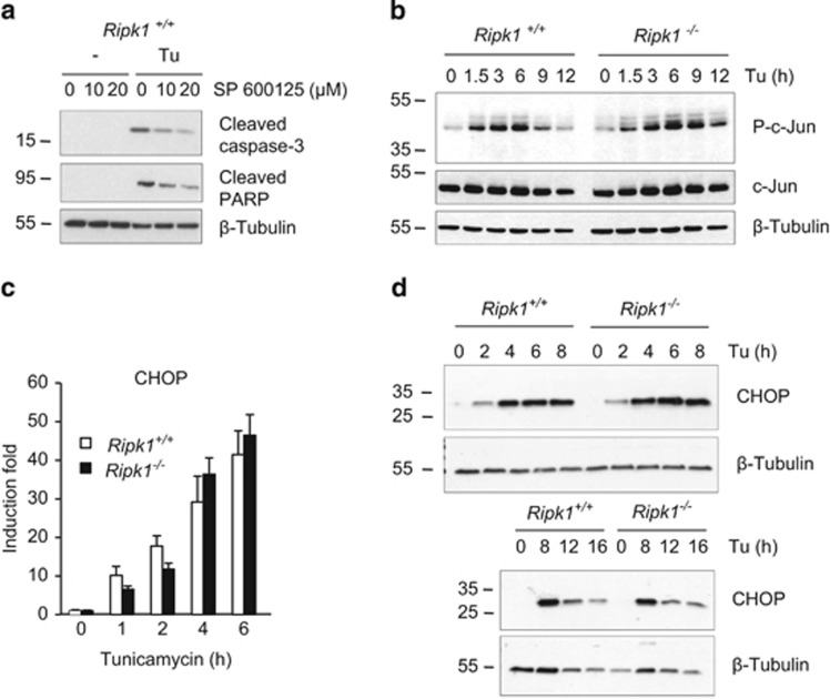 RIPK1 does not regulate JNK or CHOP during ER stress. ( a ) Ripk1 +/+ MEFs were incubated for 30 min with 10 or 20 μ M JNK inhibitor SP 600125 and then exposed to 1 μ g/ml tunicamycin (Tu) for 12 h. The cells were then lysed and immunoblotted as indicated. ( b – d ) Ripk1 +/+ and Ripk1 −/− MEFs were exposed to 1 μ g/ml Tu for the indicated time and cell lysates were either immunoblotted as indicated ( b and d ), or used to measure the expression of CHOP mRNA by RT-qPCR ( c ). Error bars indicate the standard deviation from triplicate samples. The result is representative of two independent experiments