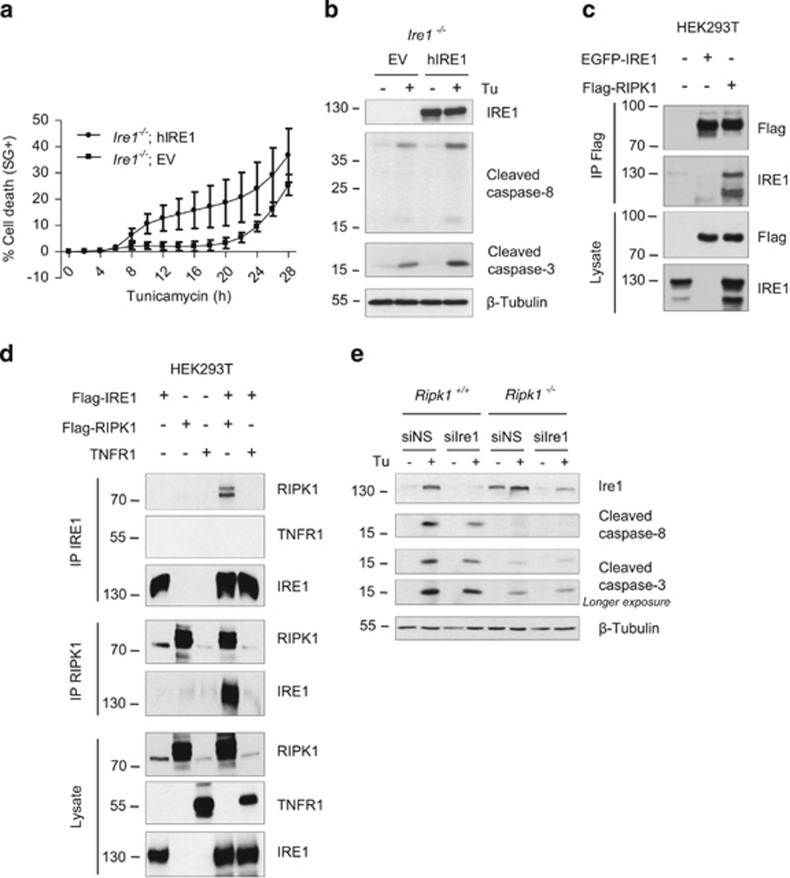 RIPK1 interacts with the pro-apoptotic receptor IRE1. ( a and b ) Ire1 −/− cells reconstituted with an empty vector (EV) or with a vector coding for hIRE1(hIRE1) were stimulated with 1 μ g/ml tunicamycin (Tu), and the percentage of cell death was measured in function of time using the Fluostar Omega fluorescence plate reader ( a ), or cell lysates obtained after 17 h of stimulation were immunoblotted as indicated ( b ). ( c ) HEK293T cells were transiently transfected with plasmids coding for EGFP-hIRE1 and/or Flag-hRIPK1, and RIPK1 was immunprecipitated (IP) using anti-Flag-coated beads. Cell lysates and immunoprecipitates were analyzed by immunoblot as indicated. ( d ) HEK293T cells were transiently transfected with plasmids coding for Flag-hIRE1, Flag-hRIPK1 and/or hTNFR1, and IRE1 (upper panels) or RIPK1 (middle panels) were immunoprecipitated with anti-IRE1 or anti-RIPK1 antibodies, respectively. Cell lysates and immunoprecipitates were analyzed by immunoblot as indicated. ( e ) Ripk1 +/+ and Ripk1 −/− MEFs were transfected with a control non-silencing siRNA (siNS) or targeting Ire1 (siIre1) and then exposed to 1 μ g/ml Tu for 12 h. The cells were then lysed and immunoblotted as indicated