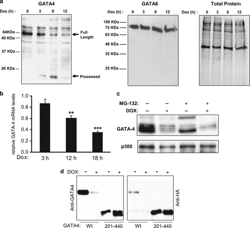 Dox-induced GATA4 depletion is independent of the ubiquitin-proteasome pathway. ( a ) Effect of time course treatment of Doxorubicin (Dox) on GATA4 (left panel), GATA6 (middle panel) and total protein (right panel) levels. Nuclear extracts were prepared from primary cardiomyocyte cultures treated for the indicated times with Dox (300 nM) and subjected to western blot analyses. ( b ) Depletion of GATA4 transcripts after 12 h of Dox treatment. Cardiomyocytes were treated for the indicated times with Dox. RNA was subjected to real-time PCR. GATA4 mRNA levels were normalized to S16 mRNA. The results are shown as mean±S.E.M. and analyzed by one-way ANOVA with Bonferroni post-test relative to the 3-h Dox treatment ( n =3). ** P ≤0.01, *** P ≤0.001. ( c ) Depletion of GATA4 protein by Dox is not prevented by a proteasome inhibitor. Cardiomyocytes were treated with Dox for 12 h in the presence or absence of 10 μ M proteasome inhibitor MG132. Nuclear extracts were subjected to western blot to detect GATA4 protein. P300 was used as a control. ( d ) A putative cleavage site in the N-terminal region of GATA4. Transient transfection was carried out in HL-1 atrial cardiomyocytes using GATA4 WT and a GATA4 N-terminal deletion (201–440) mutant. Nuclear extracts were subjected to western blot analysis using anti-HA and anti-GATA4 antibodies to detect N- and C-terminal fragments, respectively