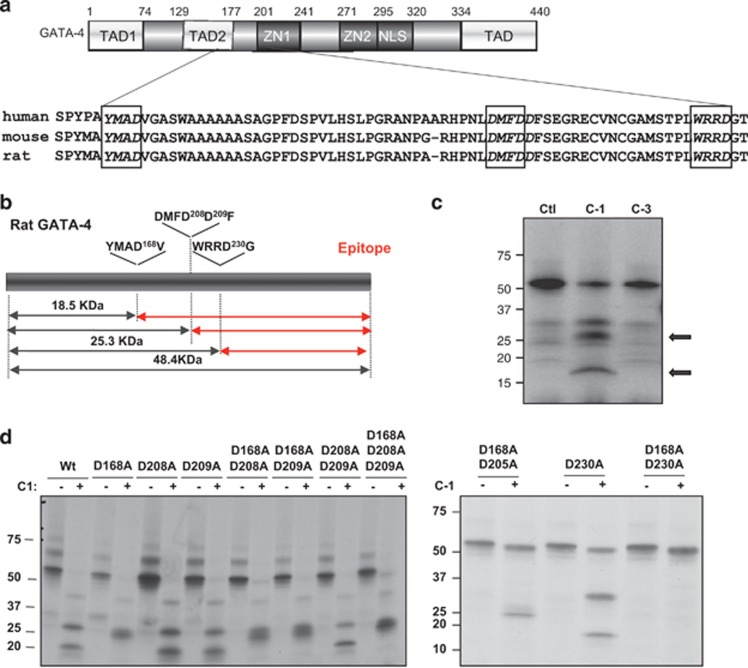 GATA4 is a direct substrate for caspase-1. ( a and b ) Schematic representation of rat GATA4 (accession number P46152). Alignment of GATA4 from different species shows that the putative cleavage sites YMAD168, DMFD208 and WRRD230 in boxes are conserved in human, mouse and rat. ( b ) Predicted size of GATA4 fragments cleaved by caspase-1. The depicted red fragments can be detected by the GATA4 antibody (epitope). ( c ) In vitro caspase cleavage assays. In vitro translated radiolabelled GATA4 was exposed to purified caspase-1 (C-1) and caspase-3 (C-3). Arrows indicate cleavage products by caspase-1 but not by caspase-3. ( d ) Caspase-1 cleavage of GATA4 mutants identifies D168 and D230 as cleavage sites. In vitro cleavage assays using purified caspase-1 and in vitro translated GATA4 WT and GATA4 mutants (single or double mutations as indicated in d ). Note how double mutation of D168 and D230 prevents the cleavage by caspase-1
