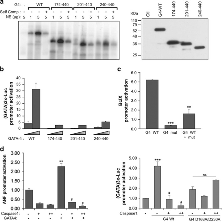 Caspase-1 is a negative regulator of GATA4 transcriptional activity. ( a ) Left panel. N-terminal truncated GATA4 proteins bind DNA. Nuclear extracts from AD293 cells transfected with the indicated GATA4 constructs were tested for their ability to bind GATA elements using EMSAs. NE: nuclear extracts, self comp: self competition with cold probe. The right panel is a western blot showing equivalent protein expression levels for all constructs. ( b ) Dose response for wild-type and truncated GATA4 protein co-transfected with the (GATA)3x-Luc promoter. ( c ) Caspase-1 cleaved GATA4 acts as dominant negative. GATA4 WT and GATA4 mut (aa 174–440) were co-transfected with the BclxL promoter. The results are shown as mean±S.E.M. and analyzed by one-way ANOVA with Bonferroni post-test relative to the GATA4 WT treatment. ** P ≤0.01, *** P ≤0.001. ( d ) Effect of caspase-1 on GATA4-dependent transcription. Left panel: (GATA)3x–luc reporter (1 μ g) was co-transfected with 100 ng of native or mutant GATA4 expression vector with or without 50 and 500 ng of caspase-1 expression vector. The results are shown as mean±S.E.M. and analyzed by one-way ANOVA with Bonferroni post-test relative to the control (*) or GATA4 WT treatment ( # ). ** P ≤0.01, # P ≤0.001. Right panel: Effect of caspase-1 on the ANF promoter in response to GATA4. The amount of plasmid DNA used is the same as in left panel. The data are the mean±S.E.M. of two experiments carried out in duplicate. The results are shown as mean±S.E.M. and analyzed by one-way ANOVA with Bonferroni post-test relative to the control (*), GATA4 WT treatment ( # ) or mutant GATA4 treatment. *** P ≤0.001, # P ≤0.001, ns=not significant. Note how caspase-1 completely abrogates GATA4 activation and how mutation of the two major caspase-1 cleavage sites renders GATA4 resistant to this effect