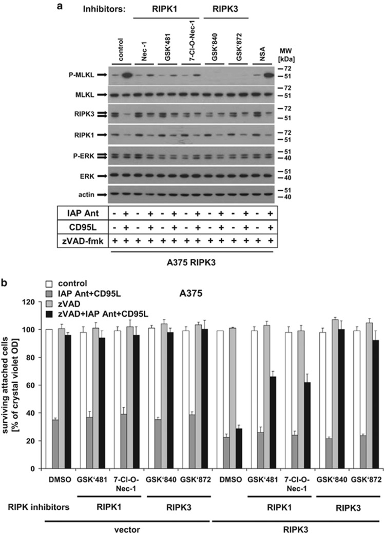 CD95L/zVAD/IAP antagonist-mediated necroptosis induction and MLKL phosphorylation depends on RIPK1 and RIPK3. ( a ) MLKL phosphorylation in RIPK3 expressing cells depends on RIPK1 and RIPK3. RIPK3-overexpressing A375 melanomas were either pre-treated with IAP antagonist (100 nM), zVAD-fmk (10 μ M), Nec-1 (50 μ M), NSA (10 μ M), RIPK3 kinase inhibitor (GSK'840 and GSK'872) or RIPK1 inhibitors (7-Cl-O-Nec-1 and GSK'481; 10 μ M each) alone or in respective indicated combinations for 1 h followed by CD95L (0.5 U/ml) costimulation for 6 h. Phosphorylation of MLKL or ERK as well as expression of MLKL, RIPK3, RIPK1, ERK, and actin was analysed by western blot analysis as previously described. One of three representative independently performed experiments is shown. ( b ) RIPK3 inhibitors fully protect RIPK3 reconstituted melanomas against CD95L/IAP antagonist-mediated necroptosis. Vector control and RIPK3-expressing cells were either pretreated with IAP antagonist (100 nM), zVAD-fmk (10 μ M), RIPK3 kinase inhibitor (GSK'840 and GSK'872), or RIPK1 inhibitors (7-Cl-O-Nec-1 and GSK'481) alone or in respective combinations followed by CD95L (0.5 U/ml) costimulation for 18–24 h followed by analysis with crystal violet assay as described previously. Summary of multiple independently performed experiments (three experiments) is shown including the S.E.M. of the whole set of experiments