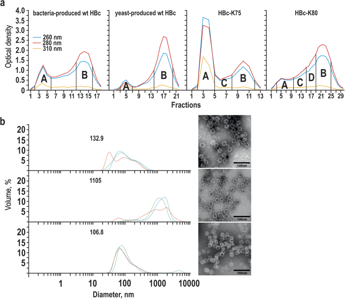 Separation of alkaline-treated HBc VLPs by Sepharose CL-4B column chromatography . ( a ) Chromatography of bacteria- and yeast-produced wt HBc VLPs as well as two representative lysine-exposing HBc VLP variants: HBc-K75 and HBc-K80. Pooled fractions are marked by capital letters. ( b ) DLS (left) and EM (right) characterisation of the fractions A of the alkaline-treated HBc VLP variants: bacteria-produced wt HBc (top), HBc-K77 (middle), HBc-K79 (bottom). Three independent DLS measurements are shown, mean particle diameters are indicated by numbers on the respective DLS graphs.