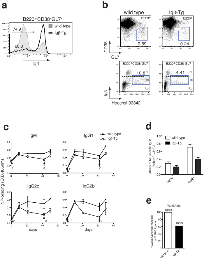 Forced expression of Igβ in B cells impaired the antibody production and affinity maturation. ( a ) Expression of Igβ in B220 + CD38 − GL7 − splenocytes from immunized Igβ-Tg (Igβ-Tg; line) and wild-type litter mates (wild type; shaded). ( b ) Expression of CD38 and GL7 in B220 + spleen cells from immunized wild type litter mates ( top left ) and Igβ-Tg mice ( top right ). Cell cycle analysis of CD38 − GL7 − GC B cells from wild type litter mates ( bottom left ) and Igβ-Tg mice ( bottom right ). Numbers indicate the percentages of cells in each gate. ( c ) Serum anti-NP titers in each isotype after the immunization. Igβ-Tg (open circle) and wild type litter mates (closed circle) were immunized with NP-CGG on day 0 (1°) and boosted 42 d later (2°). Sera were collected at indicated day and assayed by <t>ELISA</t> as described in Methods section. Error bars indicate SEM for each group. Each group consists of 5 mice. Representative data from 3 repeated experiments is shown. ( d ) Affinity maturation of anti-NP <t>IgG1</t> antibody in NP-CGG immunized Igβ-Tg (closed bar) and wild type litter mates (open bar). Error bars indicate SEM for each group. ( e ) Decreased frequency of somatic hypermutation in immunized Igβ-Tg mice. CD38 − GL7 + GC B cells were isolated from Igβ-Tg and wild type litter mates 21 days after the immunization. Total RNA was extracted and reverse transcribed to obtain cDNA samples. VH186.2 gene was then amplified and sequenced for the mutation analysis.