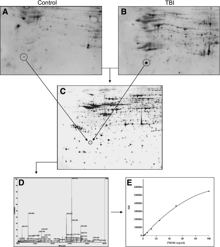 Discovery of peroxiredoxin 6 <t>(PRDX6)</t> as a candidate biomarker for brain injury. Rat brain proteome was fractionated by two-dimensional gel electrophoresis and transferred to polyvinylidene difluoride (PVDF). Blots were probed with serum from control and traumatic brain injury (TBI) rats (1:250), and visualized by enhanced chemiluminescence using pooled anti-rat immunoglobulin G (IgG) and IgM detection antibodies ( A and B , respectively). A feature showing enhanced autoreactivity following TBI (circles) was mapped to a replicate protein gel (C) and identified by peptide mass fingerprinting as PRDX6 (D) . (E) A representative standard curve for the sandwich immunosorbent electrochemiluminescence assay (IEA) developed to measure PRDX6 in human samples. The data reflect findings involving the independent two-dimensional gel analysis of six different pools of control and TBI serum performed in duplicate. Autoimmune signals were mapped to PRDX6 in the duplicate analyses of three of the six pools.