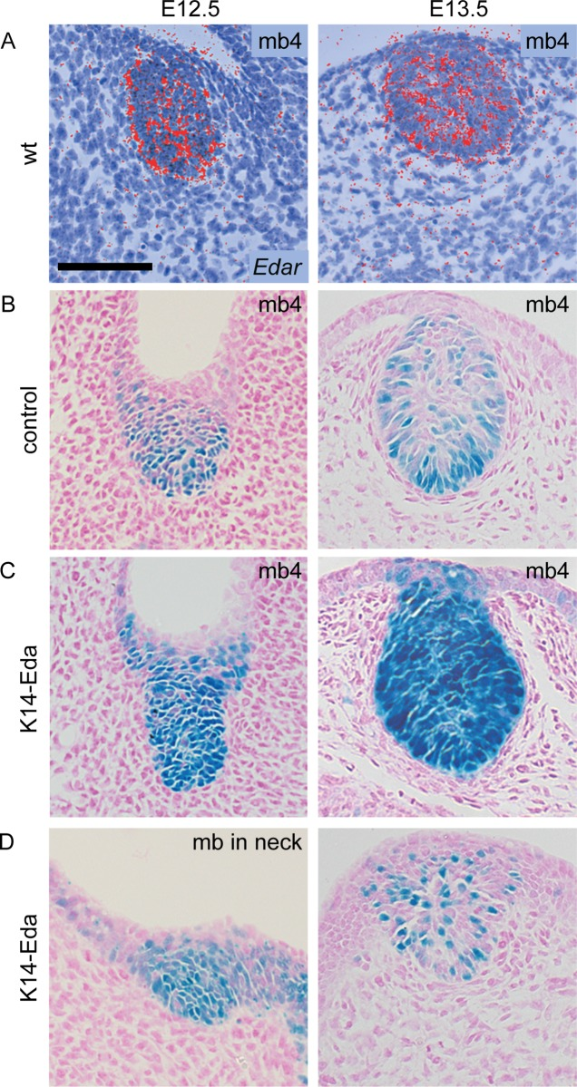Edar expression and NF-κB reporter expression co-localize in the mammary epithelium. (A) Edar transcripts were detected by in situ hybridization with a 35 S-UTP-labeled probe in mammary buds at E12.5 and E13.5. (B) NF-κB reporter was initially expressed throughout the mammary bud in control embryos, but became localized to the basal layer of the epithelium around E13.5. (C) In K14-Eda embryos, reporter activity stayed high throughout the mammary bud at E12.5 and E13.5. mb4 = mammary bud number 4. (D) The supernumerary buds exhibited mosaic expression of the reporter which was less pronounced in the in the neck (left) than in mammary primordia forming between buds 3 and 4 (right). (Scale bar: 100 μm.)