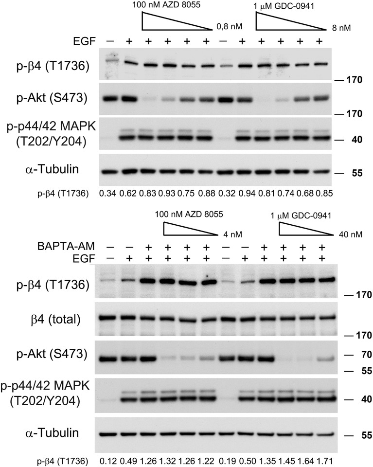 PI3K and mTOR are not required for EGF-mediated β4 phosphorylation. PA-JEB/β4 keratinocytes were deprived of growth factors overnight, pre-treated with BAPTA-AM and/or different concentrations of the mTOR kinase inhibitor AZD 8055 (0,8–100 nM) or the PI3K inhibitor GDC-0941 (8 nM- 1 μM) and subsequently stimulated with EGF or left unstimulated. The cell lysates were analysed by immunoblotting with the indicated antibodies. The values below the blots indicate the signal intensities for the phosphorylated β4-T1736 after normalization to the level of α-tubulin.