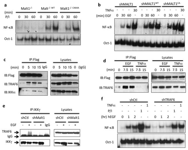 MALT1 serves as a scaffold protein by recruiting TRAF6 to IKK complex (a) MALT1-deficient cells (Malt1 −/− ), wild-type MALT1-reconstituted cells (Malt1 −/−WT ) and protease-deficient mutant reconstituted cells (Malt1 −/−C464A ) were stimulated with PMA and Ionomycin (50ng/ml; 100ng/ml) for indicated periods, respectively. Nuclear lysates were isolated and subjected to gel shift analysis for NF-κB activation. (b) A431 cells with a MALT1 knockdown (shMALT1), wild-type MALT1-reconstituted cells (shMALT1 WT ) and protease-deficient mutant reconstituted cells (shMALT1 C464A ) were stimulated with EGF (100ng/ml) or TNFα (10ng/ml) for indicated periods. Nuclear lysates were isolated and subjected to gel shift analysis for NF-κB activation. (c) MALT1-reconstituted cells were stimulated with EGF (100ng/ml) for indicated time and MALT1-Flag was immunoprecipitated (IP) by anti-Flag conjugated beads. The IP samples and lysates were analyzed by immunoblotting using the indicated antibodies. (d) MALT1-reconstituted cells were stimulated with EGF (100ng/ml) and TNFa, respectively. MALT1-Flag was immunoprecipitated (IP) by anti-Flag conjugated beads. The IP samples and lysates were analyzed by immunoblotting using the indicated antibodies. (e) Control (shCtl) or MALT1-silenced (shMALT1) A431 cells were either unstimulated or stimulated with EGF (100ng/ml) for 15 minutes and IKKg was immunoprecipitated (IP). The IP samples and lysates were analyzed by immunoblotting using the indicated antibodies. (f) A431 cells with a TRAF6 knockdown (shTRAF6) and control cells (shCtl) were stimulated with EGF (100ng/ml), PMA and Ionomycin (50ng/ml; 100ng/ml) or TNFα (10ng/ml) for indicated time points, respectively. NF-κB activation and Oct-1 (loading control) levels were determined by the gel shift assay.