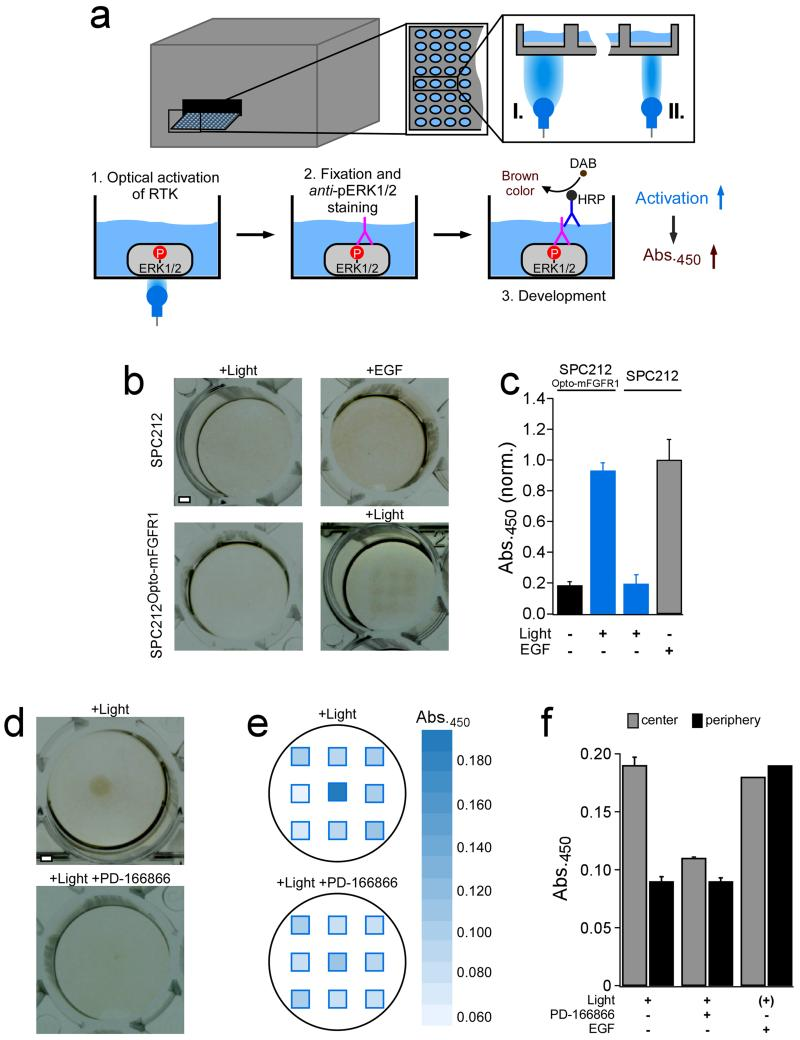 Optogenetics-enabled, internally-referenced measurement of MAPK/ERK pathway ( a ) Whole well (I.) or spatially-confined (II.) light stimulation (λ=470 ± 5 nm) of SPC212 Opto-mFGFR1 cells was performed in a microplate reader. 48-well plates were chosen for these experiments to enable visual evaluation after anti -pERK1/2 immunohistochemistry (see b and d). ( b ) Raw data photographs of cells stimulated with EGF (5.5 ng/ml) or light (distributed over the well in a 3×3 matrix). MAPK/ERK pathway was activated by EGF in SPC212 cells or light in SPC212 Opto-mFGFR1 cells but not in controls. ( c ) Quantification of b. Mean (normalized) absorption values ± SEM (n=9, one representative experiment) are shown. ( d ) Raw data photographs of local activation (area~3.14 mm 2 ) of the MAPK/ERK pathway by spatially-confined illumination of SPC212 Opto-mFGFR1 cells. Activation is limited to the center of the well and inhibited by PD-166866 (final concentration 5 μM). ( e ) Quantification of d. ( f ) Characterization of an inactive molecule (vehicle, left bars), inhibitor (PD-166866, middle bars) or activator (EGF, right bars) through internal references in a single measurement. Mean (normalized) absorption values ± SEM (n=6, 3 and 2 from left to right, two independent experiments) are shown. Scale bar in b and c is 1 mm.