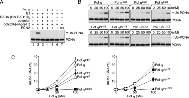 In vitro reconstitution of Polη–dependent PCNA ubiquitination. (A) Mono-ubiquitination reactions of PCNA were reconstituted with the indicated factors. Reaction products were analysed by western blotting with an anti-PCNA antibody. KR indicates the PCNA K164R mutant. (B) Titration of Polη and its pip mutants. Indicated mutants were subjected to the ubiquitination assays as shown in (A). (C) Relative amounts of ubiquitinated PCNA were measured from gel images of more than three independent experiments, and the average values are plotted in the graph. Error bars show SD.