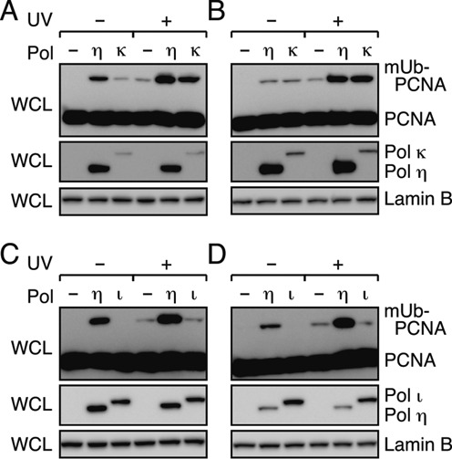 Promotion of mono-ubiquitination of PCNA in cells by Polκ but not Polι. (A, B) Western blot analysis of Polκ-expressing cells. XP-V (A) and normal cells (B) were transfected with a plasmid to express GFP-Polκ or GFP-Polη (as a control). (C, D) Western blot analysis of Polι-expressing cells. XP-V (C) and normal cells (D) were transfected with a plasmid to express FLAG-Polι or FLAG-Polη (as a control). The transfected cells were incubated for 24 h, irradiated with UV (15 J/m 2 ) and further incubated for 3 h. Whole-cell lysates (WCL) were subjected to western blotting with anti-PCNA, anti-Lamin B (loading control) and anti-GFP or anti-FLAG antibodies.