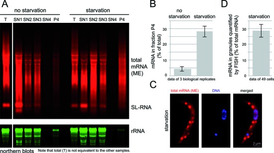 Analysis of RNA samples taken during the granule enrichment. ( A ) Northern blots. Northern gels loaded with total RNA samples were probed for total mRNAs and for 18S rRNA. SL = spliced leader RNA. ( B ) The percentage of mRNA in the 'granule' fraction of non-starved and starved cells was quantified from northern blots of three independent experiments. Note that this percentage is calculated based on total mRNA being the sum of SN1, SN2, SN3, SN4 and P4; 'T' is mRNA prepared in parallel as a control for mRNA quality and is not equivalent to the other samples. ( C and D ) Starved trypanosomes were stained for total mRNA with a fluorescent oligo antisense to the mini-exon sequence (RNA FISH): one representative cell is shown in C. The fraction of fluorescence in granules in comparison to total fluorescence was quantified from Z-stack projections of 49 cells (all were in a early cell cycle stage prior to the division of their kinetoplast and nucleus). Non-starved trypanosomes had no visible granules (see Figures 8 ) and hybridization with an oligo sense to the spliced leader sequence (negative control) gave a 14-fold weaker total signal (data not shown). This experiment is one representative of several.