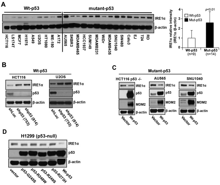 IRE1α expression is regulated by p53 A. Western blot analysis of the expression of endogenous IRE1α in 23 human cancer cell lines. Cell lines were grouped according to expression of wild-type or mutant p53 as indicated. (A well between wt-p53 and mutant-p53 cell lines was cut, from the gel as indicated by a black line, due to the controversial p53 status of the cell line). Right panel: The intensities of the IRE1α bands (left panel) are expressed relative to those of β-actin. Values shown are the mean ± standard deviation (s.d.). The P value was calculated using two-way ANOVA. B. Downregulation of p53 expression induces increased expression of IRE1α. HCT116 p53 +/+ and U2OS cells were transfected with shLuc, shp53 (753), or shp53 (814), and selected using puromycin. Whole cell lysates of a pool of transfectants were analyzed using western blotting with the indicated antibodies. C. Overexpression of wild-type p53 inhibits IRE1α expression in mutant-p53 cell lines. Cell lysates, prepared 48 h after transfection with wild-type p53, were analyzed for the expression of indicated proteins. D. Mutant p53 proteins do not inhibit IRE1α expression. Cell lysates were prepared from cells transfected with p53-G245S, p53-R248W, p53-249S, and p53-R273H expression vectors or from cells that constitutively expressed wild-type p53 and were analyzed for the expression of the indicated proteins.