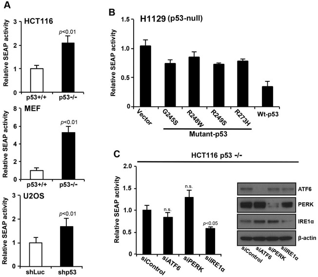 p53 deficiency increases secretory the function of the ER through the IRE1α/XBP1 pathway A. HCT116 p53 +/+ or HCT116 p53 −/− cells, MEF p53 +/+ or MEF p53 −/− cells, and U2OS shLuc or U2OS <t>shp53</t> cells expressing secreted embryonic alkaline phosphatase (SEAP) were transduced with a pSEAP2 control vector and washed 24 h after transduction. The medium was then changed, and the cells were cultured for another 6 h. Culture media were analyzed for SEAP activity, and luminescence was normalized to cell number. The transfection efficiencies of HCT116 p53 +/+ and HCT116 p53 −/− cells were approximately 80% each (data not shown). B. Overexpression of wild-type p53 inhibited SEAP activity. SEAP activities of cells that constitutively expressed the indicated p53 molecules were analyzed using the same procedure described in (A). C. HCT116 p53 −/− cells that expressed SEAP were transfected with siControl, siATF6, siPERK, or siIRE1α, cultured for 24 h, and following a change of medium, the cells were cultured for another 6 h. Whole cell lysates were analyzed using western blotting with the indicated antibodies, and culture supernatants were analyzed for SEAP activity. Values shown are the mean ± s.d. of three different experiments simultaneously measured. The P value was calculated using two-way ANOVA.