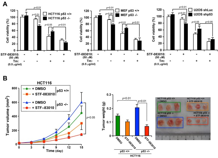 The IRE1α inhibitor (STF-083010) suppresses the growth in vitro and in vivo of p53-deficient human cancer cells A. Effects of an IRE1α inhibitor on cell viability and on Tm-induced cell death in p53-deficient cells. HCT116 p53 +/+ or HCT116 p53 −/− cells, MEF p53 +/+ or MEF p53 −/− cells, and U2OS shLuc or U2OS shp53 cells were treated with Tm (0.5 mg/mL), STF-083010 (50 μM), or both for 24 h. Cell viability was determined using an MTT assay. Values shown are the mean ± s.d. of three different experiments measured simultaneously. B. An IRE1α inhibitor selectively suppresses the growth of p53-deficient tumors in nude mice. HCT116 p53 +/+ and HCT116 p53 −/− cells were used to engraft nude mice, and 4 days after injecting the cells, DMSO or STF-083010 (40 mg/kg) was intraperitoneally administered once every 3 days. Tumor volume was measured on the indicated days. After 15 days, the weights of the tumors (left panel) were measured. Values shown are the mean ± standard error of the mean of eight mice from each group. The P value was calculated using two-way ANOVA.