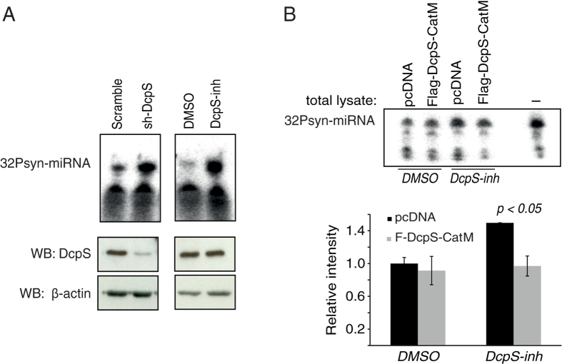 DcpS activates miRNA degradation independent of its decapping scavenger activity. ( A ) Inhibition of DcpS alters in vitro miRNA degradation. 10 μg of total protein extracts from cells either infected with lentivirus encoding for an shRNA targeting DcpS (left panels) or treated with a DcpS inhibitor (DcpS-inh; right panels) were incubated for 15 minutes with 5′- 32 P-labeled small RNA oligonucleotide that corresponds to let-7 miRNA sequence (32Psyn-miRNA). Knockdown of DcpS was validated by Western blotting (bottom panels). The endogenous β-actin was probed and used as loading control. ( B ) Catalytically inactive DcpS rescues miRNA degradation in cell treated with DcpS-inhibitors. 5′- 32 P-labeled synthetic miRNA (32Psyn-miRNA) was incubated for 10 minutes with 10 μg of total protein extracts from cells treated. First, cells were treated with DcpS-inh or DMSO and 6 h after were transfected with Flag tagged catalytically inactive DcpS mutant (Flag DcpS-CatM) expressing vectors or pcDNA vectors. Cells were harvested and proteins were lysed 12 h after transfection using RIPA buffer. The graph represents the quantification of three independent experiments and the error bars represent standard errors. Significance was analyzed using Student's t-test.