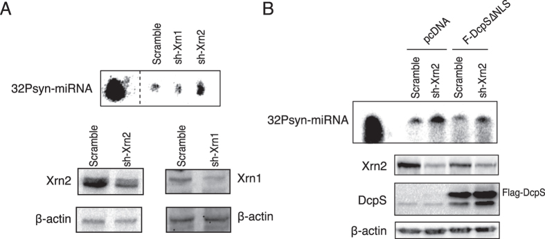 The 5′-3′ exonuclease Xrn2 contributes to DcpS-dependent miRNA degradation. ( A ) The knockdown of Xrn2 but not Xrn1 abrogates miRNA degradation in vitro . 5′- 32 P-labeled synthetic miRNA (32Psyn-miRNA) was incubated for 15 minutes with 10 μg of total protein extracts from cells infected with lentivirus encoding for shRNA targeting either Xrn1, Xrn2 or control shRNA (scramble). The efficacy of knockdowns was confirmed by western blotting (bottom panel). Dashed lines indicate that unrelated lanes have been removed between samples. ( B ) DcpS requires Xrn2 to support miRNA degradation. Cells were infected with shRNA targeting Xrn2 followed by transfection of plasmids expressing Flag-DcpS-∆NLS. Transfection with pcDNA 3.1-Flag empty vector served as control. Degradation assay was performed using 10 μg of total protein and incubated with a 5′- 32 P-labeled synthetic miRNA (32Psyn-miRNA) for 10 min. The efficacy of knockdown was validated by western blotting and the endogenous β-actin was probed and used as loading control (Bottom panel).