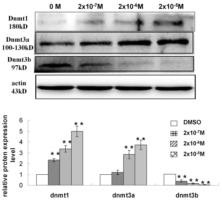 Effects of DES on the protein expression of DNMTs in GC-2 cells. * P