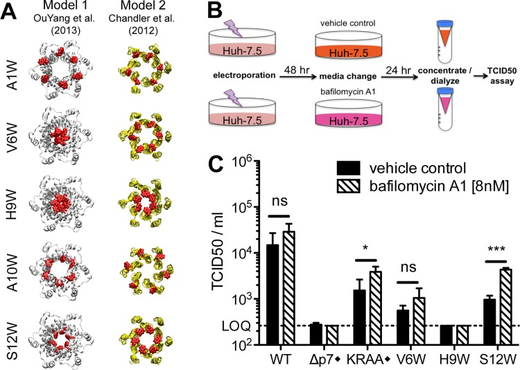 Identification of putative ion channel defective mutants by homology modeling and bafilomycin A1 rescue. A) Molecular models of N-terminal region mutants that yielded > 1 log reduction in infectious virus production compared to wild-type in a bicistronic context. The mutated residue Trp side chains are shown in red. Models provide insight into whether the mutation is likely to block the pore (e.g. H9W and S12W), disturb p7 intramolecular interactions (e.g. A10W), or interrupt p7 interactions with binding partners (e.g. A1W, A10W). B) Bafilomycin A1 rescue experiment schematic. Forty-eight hours post-electroporation, Huh-7.5 cells replicating control or p7 mutant viruses were supplied with cell culture medium containing bafilomycin A1 [8nM] or DMSO. Supernatants were collected 24 hours post-treatment, concentrated and dialyzed to remove excess bafilomycin A1, and then tittered on naïve Huh-7.5 cells to quantify infectious virus production. C) Resulting infectious virus titers from the experiment outlined in panel b. Mutant viruses yielding significantly more infectious virus production under bafilomycin A1 conditions compared with DMSO were identified using unpaired t-tests. Statistical results are indicated as follows: ns = not significant, * p