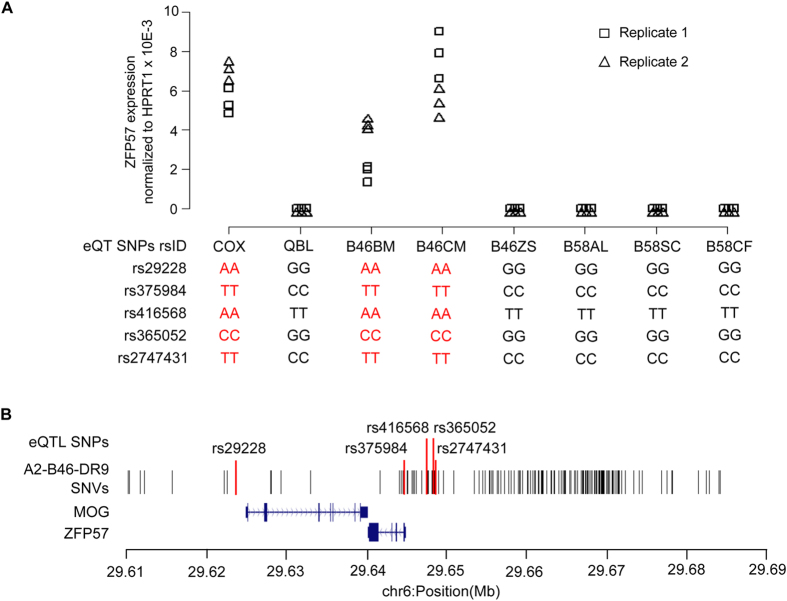 Association of A2-B46-DR9 intra-CEH variants with ZFP57 expression. (A) qRT-PCR was performed to determine the mRNA level of ZFP57 in COX, QBL, B46BM, B46ZS, B46CM, B58AL, B58SC, and B58CF cell lines. Experiments were carried out in triplicate for each biological replicate. Triangles indicate quantitative expression derived from biological replicate 1, while squares indicate quantitative expression derived from biological replicate 2. The genotype of the eQTL SNPs in each cell line are shown below the plot. (B) Distribution of the 202 A2-B46-DR9 intra-CEH variants across chr6:29.60–29.69(Mb).