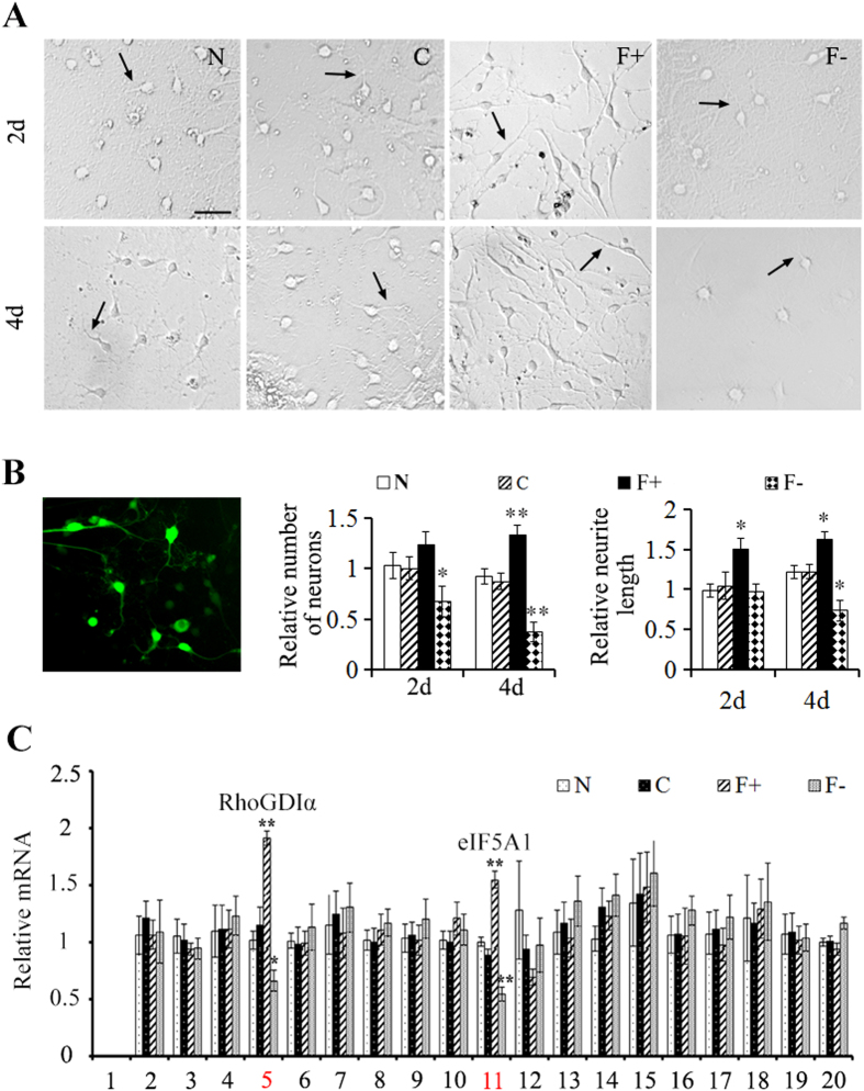 Overexpression of eIF5A1 promotes neuronal survival and axonal growth in vitro . ( A ) Primary neurons were cultured for 2 and 4 days (d) after transduction with lentiviral construct described in Fig. 3 . Bar, 50 μm. ( B ) Expression of control lentiviral construct (green) in cultured primary cord neurons. Numbers of neurons and neurite length from panel A were quantified by Leica LAS AF software. And all groups were normalized to normal (N) group at 2d. ( C ) After transduction of lentiviral construct described in Fig. 3 in cultured primary neurons, mRNA level of 20 proteins identified in Fig. 1 were quantified using qPCR. The RhoGDIα (spot 5) was significantly upregulated in eIF5A1 overexpressed group, while it was significantly downregulated in eIF5A1 reduced group. Albumin (spot 1) was not detected. Data were presented as mean ± SEM. *P