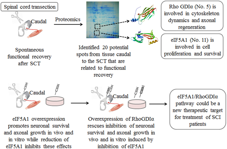 eIF5A1/RhoGDIα pathway: a novel therapeutic target for treatment of spinal cord injury was identified using a proteomics approach. The restoration of neurological functions after CNS injury is limited. Such limited functional recovery is observed in rodents and primates as well 7 34 . Here, we seek to identify possible mechanisms through which such spontaneous function recovery occurs, and to explore the new potential therapeutic targets for SCI and other CNS injuries. Using a proteomics approach we detected 20 proteins expressed differentially in the spinal cord caudal the epicenter of the injury. Of these proteins, we focus on eIF5A1 and RhoGDIα 41 42 . eIF5A1 is a protein with function in cell proliferation and survival while RhoGDIα is involved in cytoskeleton dynamics and promotes axonal growth. Lentiviral vectors were used to manipulate their expression in vivo and in vitro in order to study their roles in neuroplasticity and functional recovery after SCT. Consequently, we found that eIF5A1 regulates RhoGDIα to promote neuroplasticity and functional recovery. This pathway might play a pivotal role in enhancing the level of functional recovery and in turn improve patients' quality of life. Finally, Fig. 8 was drawn by one of our co-authors, Dr. Fei-Fei Shang.