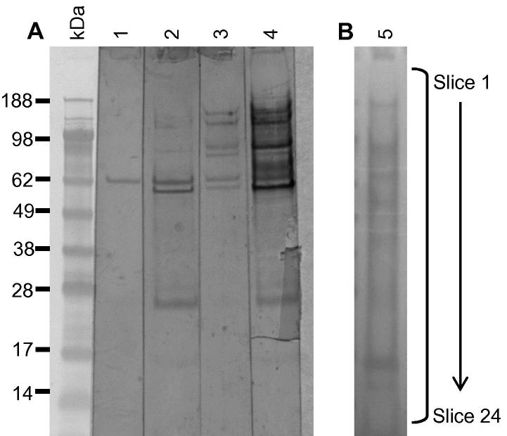 Immunoaffinity enrichment of Dermanyssus gallinae proteins using immobilised antigen-specific IgY. Yolk-IgY generated against ion exchange chromatography group 4 proteins was cross-linked to a HiTrap N-hydroxysuccinimide (NHS)-activated column and IEX group 4 proteins were selectively bound to the column, washed to remove unbound material and then eluted into an affinity enriched fraction with 0.1 M Glycine, 6 M Urea, pH 2.5. (A) The IEX group 4 proteins prior to affinity purification (lanes 1 and 3) and the eluted affinity-enriched material (lanes 2 and 4) were separated on a 12% Bis–Tris Novex gel (GE Healthcare) and transferred to nitrocellulose. Lanes 1 and 2 of the immunoblot were probed with a 1:200 dilution of sera from naive hens that had not been immunised with the soluble mite extract and lanes 3 and 4 were probed with a 1:200 dilution of post-vaccination sera from hens immunised with IEX group 4. Bound IgY was detected with rabbit anti-IgY-peroxidase (Sigma) and visualised using SIGMA FAST ™ 3,3′-diaminobenzidine substrate (Sigma). (B) The eluted immunoaffinity enriched IEX group 4 material was concentrated fivefold by lyophilisation and 30 μl was electrophoretically separated as before and stained with SimplyBlue™ SafeStain (lane 5). The gel lane was sectioned into 24 equally-sized horizontal slices and the proteins extracted and subjected to liquid chromatography–electrospray ionisation–tandem mass spectrometry (LC–ESI–MS/MS).