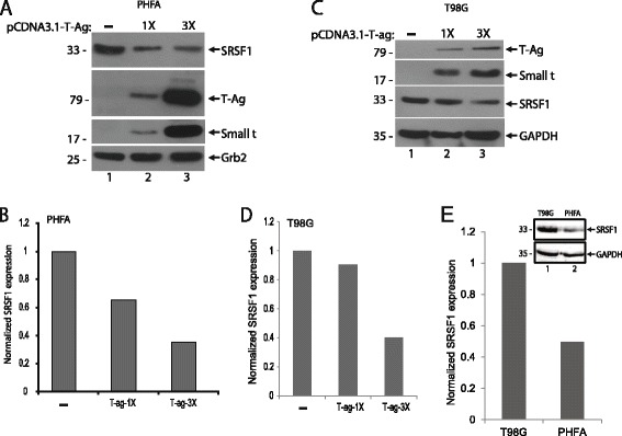 T-Antigen suppresses SRSF1 expression in glial cells. a . PHFA cells were transfected with increasing concentration of T-antigen expression plasmid. After 48 h post-transfection, whole cell protein extracts were collected. Western blot analyses were performed to detect levels of SRSF1, T-antigen, and small t antigen expressions. Grb2 served as a loading control. b . Bar graph representation of relative SRSF1 expression from panel a . Quantification of the intensity of the bands of SRSF1 from panel a were normalized to Grb2 band intensities and used to calculate relative expression. c . T98G cells were transfected with increasing concentration of T-antigen expression plasmid. After 48 h post-transfections, whole cell protein extracts were collected. Western blot analyses were performed to detect levels of SRSF1, T-antigen, and small t antigen expressions. GAPDH served as a loading control. d . Bar graph representation of relative SRSF1 expression from panel c . Quantification of the intensity of the bands of SRSF1 were normalized to GAPDH band intensities and used to calculate relative SRSF1 expression levels. e . Whole cell protein lysates from PHFA and T98G cells were prepared and analyzed by Western blotting for the detection of SRSF1 expression. GAPDH served as a loading control. Band intensity of the bands of SRSF1 were quantified, normalized to GAPDH, and shown as bar graph