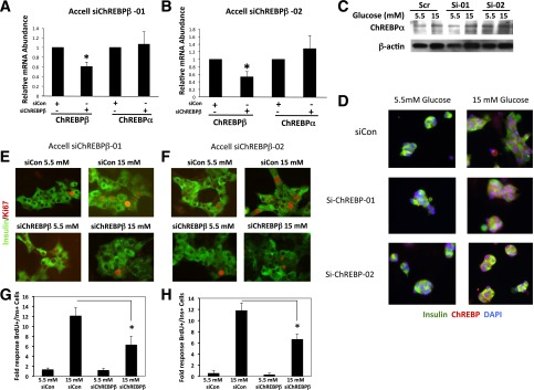 Depletion of ChREBPβ attenuates glucose-stimulated β-cell proliferation in isolated rat islet cells. A and B : Isolated rat islet cells were treated with lipid-conjugated (Accell) siRNAs and cultured in 5.5 or 15 mmol/L glucose for 96 h. Total RNA was collected and subjected to RT-PCR using primers specific for ChREBPβ or ChREBPα mRNAs. C : Protein extracts were subjected to immunoblotting using an antibody against ChREBPα and β-actin. D : To determine the effects of the siRNAs on ChREBP translocation, cells were treated with control or Accell siRNA against ChREBPβ cultured in 5.5 or 15 mmol/L glucose for 32 h and were fixed and stained for insulin, ChREBP, and DNA (DAPI). E : Isolated rat islet cells were treated with Accell siRNAs and cultured in 5.5 or 15 mmol/L glucose for 96 h and fixed and stained with Ki67 and insulin. F : Quantification of the results in E , wherein at least 1,000 insulin-positive cells were counted. Results are from four different rat islet isolations. siChREBPβ-01 and -02, siRNAs directed against ChREBPβ; siCon, scramble control siRNA. Error bars are the SEM. * P