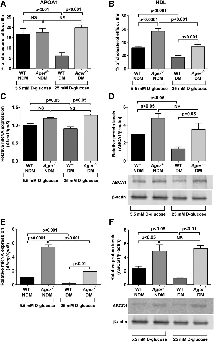 Effect of diabetes on cholesterol efflux to <t>apoA1</t> or HDL and regulation of cholesterol transporters by Ager in primary murine BMDMs. Primary BMDMs were retrieved from nondiabetic and diabetic WT (2 months of hyperglycemia) and Ager −/− mice and were cultured in concentrations of glucose consistent with the glycemic state of the mice from which they were retrieved. BMDMs were labeled with 3 H-cholesterol and treated with acetylated LDL and fatty acid–free <t>BSA</t> (1%) for 24 h. A and B : To mediate cholesterol efflux, cells were treated with apoA1 (5 μg/mL) ( A ) or HDL (100 μg/mL) ( B ) for 6 h, and supernatant was collected. Percent cholesterol efflux is the radioactivity in the supernatant divided by the sum of the radioactivity measured in the supernatant and the cell lysates from n ≥ 5 mice/group. C and D : BMDMs were retrieved from WT or Ager −/− mice and subjected to quantitative real-time PCR for detection of Abca1 mRNA transcript ( C ) and ABCA1 protein ( D ) analysis ( n = 3 mice/group). E and F : BMDMs were prepared as in C and D and assessed for levels of Abcg1 mRNA transcripts ( E ) and ABCG1 protein ( F ) ( n = 3 mice/group). Error bars represent mean ± SEM. hr, hour; NS, not statistically significant.