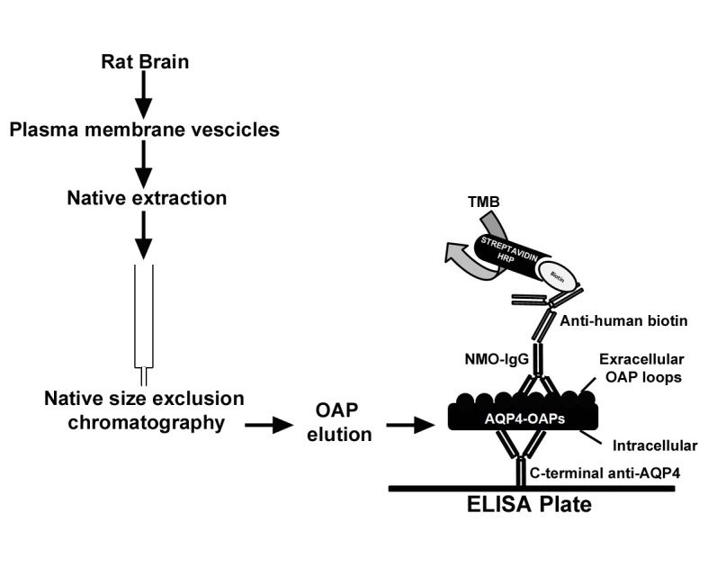 OAP-ELISA development workflow. Plasma membrane proteins were extracted under native conditions from rat brain plasma membrane <t>vescicles</t> and subjected to <t>nSEC</t> to isolate AQP4-OAPs. Native AQP4-OAPs were then immobilized on a plastic plate using a commercial AQP4 antibody with the sandwich approach. Indirect anti-human-biotin/streptavidin-HRP based AQP4-IgG detection was performed. Note that the commercial antibody recognizes the intracellular region of AQP4, while AQP4-IgG autoantibodies recognize the extracellular regions. Thus, the C-terminal anti-AQP4 antibody allows the correct orientation of AQP4-OAPs for AQP4-IgG binding.