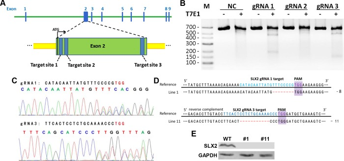Generation of  Slx2  knockout mice. A) Schematic of the genomic target sites in the  Slx2  gene. B) Analysis of CRISPR/Cas9 system efficiency in mouse embryonic stem (ES) cells by using T7E1 assay. pX330 ligated with different gRNAs were transfected into V6.5 ES cells. Targeted region was PCR amplified and then digested by T7 Endonuclease I. M, marker. NC, negative control, mouse ES cells transfected with GFP plasmid. C) gRNA-1 and gRNA-3 worked in mouse embryos. Sequencing results of mouse embryos injected with Cas9 mRNA and  Slx2  gRNA-1 or gRNA-3 were shown. D) Genotyping results of line 1 and line 11 F1 mice. Cas9-mediated indels lead to frame shift of  Slx2 . Blue color showed the sequence of gRNAs; protospacer adjacent motifs (PAM) were labeled with purple color; red color showed the modified sequences information after targeting. -, nucleic acid base deletion. E) Western blot analysis of SLX2 expression level in testis from line 1 (#1) and line 11 (#11) mice. WT, wild-type.