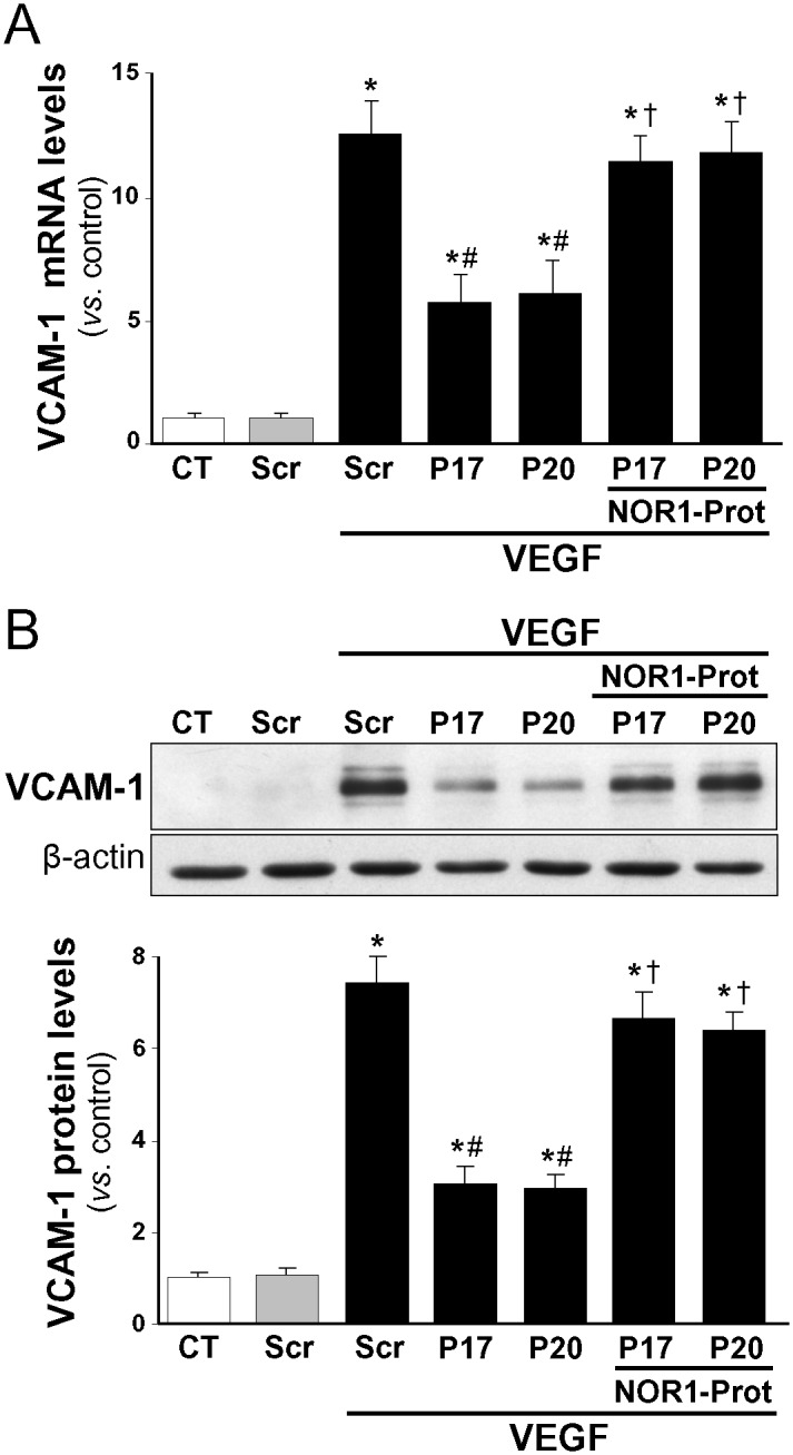 The NOR-1 protector prevents the down-regulation of VCAM-1 promoted by miR-17 and -20. HUVEC were transfected with precursors of either miR-17 or miR-20a (P17 or P20) or a scramble sequence (Scr) in the presence or in the absence of a miScript target protector that blocks the NOR-1 3'-UTR seed sequence recognized by the miR-17 and -20a (NOR1-Prot). Then cells were stimulated with <t>VEGF</t> (100 ng/ml, 2 h). VCAM-1 expression was assessed by real-time PCR (A) and Western-blot (B) . Results are expressed as mean ± SD from at least n = 4. ( p