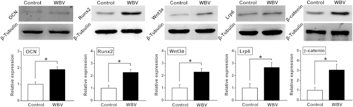 Effects of mechanical vibration stimulation on in vitro osteogenesis-related protein expression for primary rabbit osteoblasts seeded in pTi via western blotting analyses, including OCN, Runx2, Wnt3a, Lrp6 and β-catenin. Values are all expressed as mean ± S.D. ( n = 3 ~ 4). The relative expression level of each protein was normalized to β-Tubulin. * Significant difference from the Control group with P