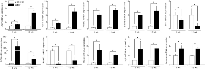 Effects of WBV stimulation for 6 weeks and 12 weeks on in vivo osteogenesis-related gene expression in rabbit femora via qRT-PCR analyses, including ALP, OCN, Runx2, BMP2, Sost, OPG, RANKL, Wnt3a, Lrp6 and β-catenin. Values are all expressed as mean ± S.D. ( n = 3 ~ 6) and the relative expression level of each gene was normalized to β-Actin. * Significant difference from the Control group with P