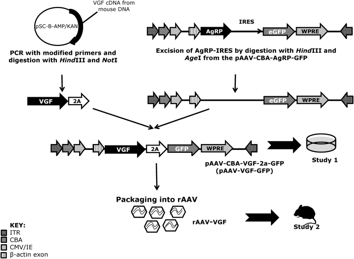 A schematic to show steps leading to the production of rAAV-VGF . Full length mouse cDNA was isolated and inserted into the blunt cloning vector pSC-B-AMP/KAN for amplification using modified primers to produce the VGF-2A fragment. This product was cloned into the pAAV-CBA-AgRP-IRES-GFP backbone (previously used in Jethwa et al., 2010 ), following excision of the AgRP-IRES complex to produce pAAV-CBA-VGF-2a-GFP (pAAV-VGF-GFP). This was used for the in vitro checking (Study 1), before then being used to produce recombinant AAV-2 (rAAV) by Vector BioLabs (USA) yielding rAAV-VGF for in vivo infusion (study 2). ITR—internal tandem repeat, CMV/IE—cytomegalovirus intermediate early promoter, CBA—chicken β-actin promoter, eGFP—enhanced green fluorescent protein, WPRE—Woodchuck Hepatitis virus post-transcriptional regulatory element.