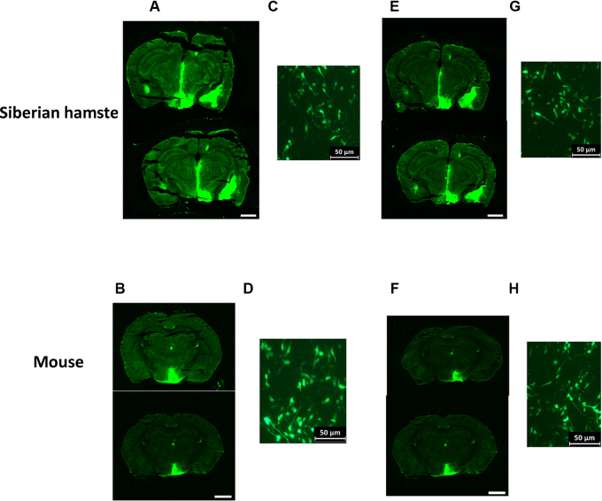 Use of the viral 2A sequence in the rAAV-VGF construct results in widespread eGFP expression in the hypothalamus . Representative pictures of eGFP expression in the hypothalamus of Siberian hamsters and mice which received bilateral (200 nl) injections of either rAAV-GFP or rAAV-VGF directed to the PVN. (A–D) eGFP expression following infusion of rAAV-GFP control vector in the whole hypothalamus of (A) Siberian hamsters and (B) mice and in the cell soma and processes of the PVN of (C) Siberian hamsters and (D) mice. (E–G) eGFP expression following infusion of the rAAV-VGF vector in the hypothalamus of (E) Siberian hamsters and (F) mice and in the cell soma and processes of the PVN of (G) Siberian hamsters and (H) mice. Scale bar = 2.5 mm.