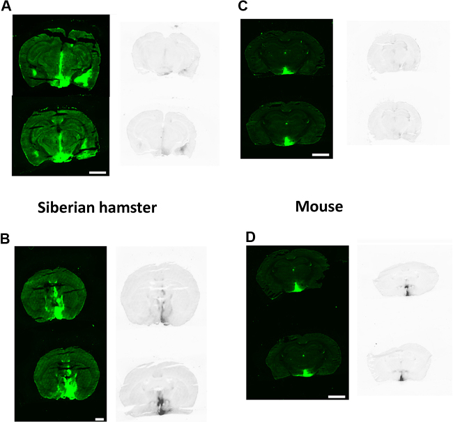 VGF mRNA and eGFP expression patterns are similar following rAAV-VGF infusio n into the hypothalamus of both Siberian hamsters and mice . Representative pictures of eGFP expression (left) and VGF mRNA expression via in situ hybridisation (right) in the hypothalamus of Siberian hamsters (A and B) and mice (C and D) receiving bilateral injections of either rAAV-GFP (A and C) or rAAV-VGF (B and D) directed to the PVN. Scale bar = 2.5 mm.
