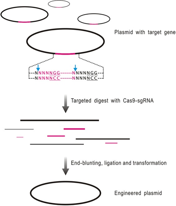 Flowchart of targeted gene deletion of biosynthetic gene cluster using ICE system. The target gene (in pink) flanking by protospacers is cleaved 3 bp upstream of PAM by the Cas9-sgRNA complex. After phenol-chloroform extraction and ethanol precipitation, the linearized DNA fragments mixture is subsequently end blunted, self-ligated, and then introduced into E. coli . The desired colonies will be screened out from the pool of recirculation plasmids by PCR and subsequently confirmed by restriction mapping.